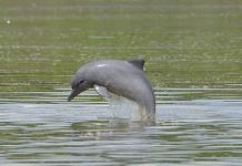 Tucuxi, a species of freshwater dolphin, has been marked as 'Threatened' in the updated Red List | IUCN