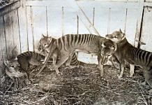 A thylacine family at the Beaumaris Zoo in Hobart, in 1910 | Wikimedia commons