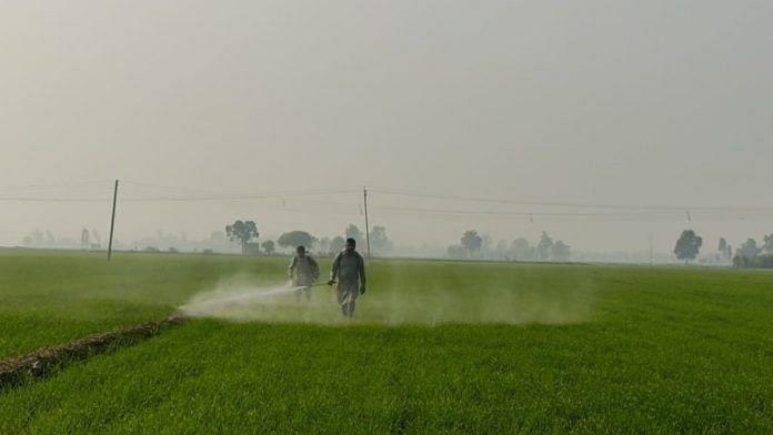 Farmers spraying chemicals to wheat crop in Sangrur, Punjab. | Photo: Urjita Bharadwaj/ThePrint