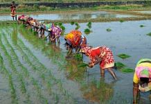 Representational image of women planting paddy in a field in Odisha | Photo: ANI