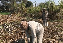 Sugarcane farmers in the western UP region of Bagpat are angry at the delay in payment | Photo: Shankar Arnimesh | ThePrint