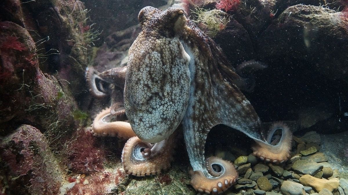 Octopuses have a mystery 'light sense' that helps them in the dark, new study finds