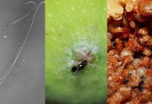 (L-R) Adult nematodes under the microscope, a pollinator wasp entering the fig, inside of the fig showing live and dead wasps | Credit: Satyajeet Gupta, Nikhil More