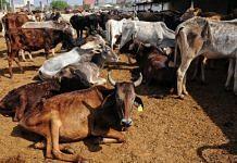 Cow in frail condition at the Jalpura gaushala in Greater Noida | Suraj Singh Bisht | ThePrint