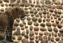 An Indian leopard | Sridharan Chakravarthy | Flickr