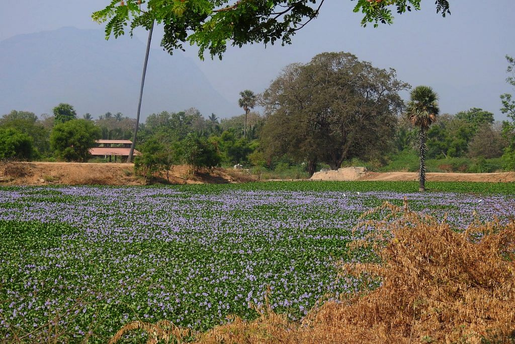 Noyyal system lake covered in invasive water hyacinth | Sanket Bhale