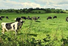 Representational image of cattle grazing | Commons