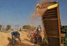 Workers at Rajpura mandi in Punjab put freshly harvested wheat in a cleaning machine   Representational image   Manisha Mondal   ThePrint