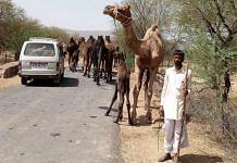 Camel breeder Shankar Devasi from Bhilwara with his herd on a village road | By special arrangement