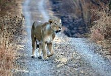 A lioness at the Girnar wildlife sanctuary | Praveen Jain | ThePrint