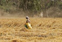 A Punjab farmer in a wheat field | Representational image | Manisha Mondal | ThePrint