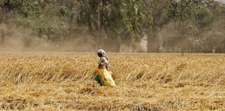 A Punjab farmer in a wheat field | Representational image | Manisha Mondal | ThePrint