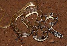 The new snake species named Joseph's racer, Platyceps josephi | Credits: Surya Narayanan