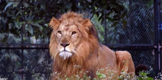 Representative image of an Asiatic lion at a zoon in India | ANI