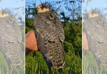Amur Falcon Bird
