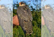 Amur Falcon Bird