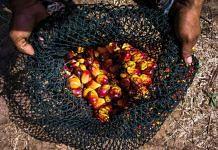 A net of harvested oil palm fruit   Photo: Sanjit Das   Bloomberg