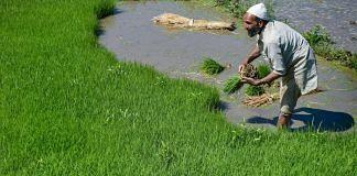 File photo | A farmer making bundles of paddy saplings in a field, Budgam | PTI