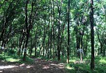 Rubber plantation in Kerala (representational image) | Photo: Sanghamitra Mazumder/ThePrint