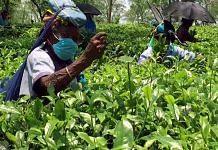 Tribals work at tea gardens in Phansidewa, Darjeeling, in this June 2021 photo | Representational image | ANI