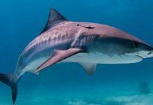 Representational image of a shark | Wikimedia commons