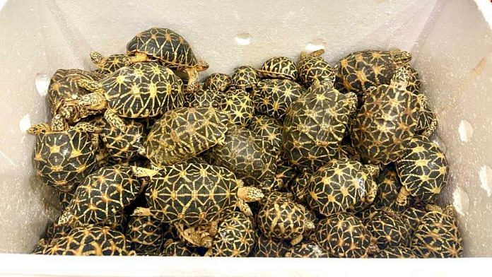 The 2,247 Indian star tortoises were being smuggled to Thailand   By special arrangement