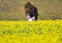 Representational image of a mustard field | ANI