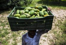 A farmworker carries a crate of harvested Dusehri mangoes on his head at an orchard in Malihabad, Uttar Pradesh | Representational image | Photographer: Prashanth Vishwanathan | Bloomberg