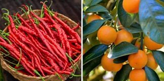 Hathei chillis (left) and tamenglong oranges (right) from Manipur | Twitter | @NBirenSingh