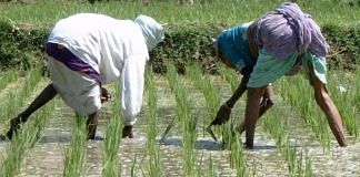 Farmers at a rice paddy field   Representational image   Commons