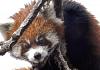 A red panda   Shalini   WWF
