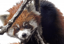 A red panda | Shalini | WWF