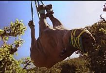 A black rhino being airlifted