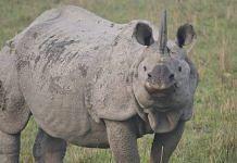Assam's one-horned rhino.   Wikimedia Commons