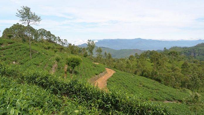 Representational image. | A tea plantation in Sri Lanka's Haputale. | Photo: Commons
