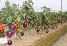 Successful field demonstration of grafted brinjal and tomato, named Brimato   Photo: ICAR   By special arrangement